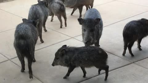Wild Pigs Make a Visit to Arizona Home