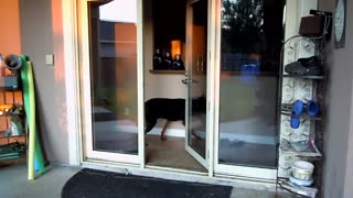 Doberman Learns How To Close Door After Opening It