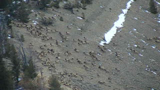 Massive Migration of Elk