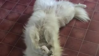 Samoyed playing with his toy Stormtrooper  - Video