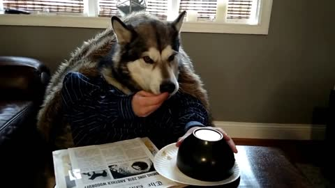 Alaskan Malamute reveals clever pregnancy announcement