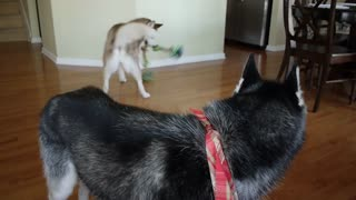 Mishka the Talking Husky engages in epic tug-of-war game