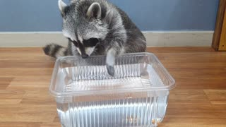 Raccoon fishes almond snacks out of tub of water