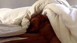 Dog Is Sleeping Like A Baby, But When The Alarm Goes Off? I Can't Stop Laughing!