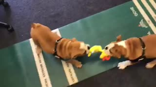 Bulldog puppies stand off over a toy  - Video