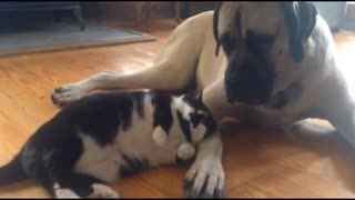 Black Cat Playing with White Dog - The Best Friendly