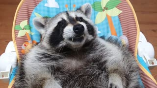 Raccoon lies in the baby reclined cradle and chews gum with both hands.