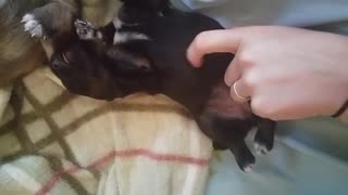 2 Week Old Puppy Likes Her Belly Scratched
