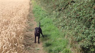 Dog playing fetch in a wheat field takes game to the next level - Video