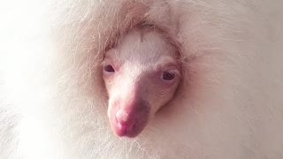 Albino Wallaby Wakes from Nap