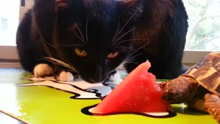 Generous Turtle Shares Watermelon Slice With Greedy Cats - Video