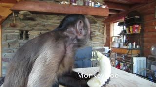 Capuchin Monkey enjoys a banana - Video