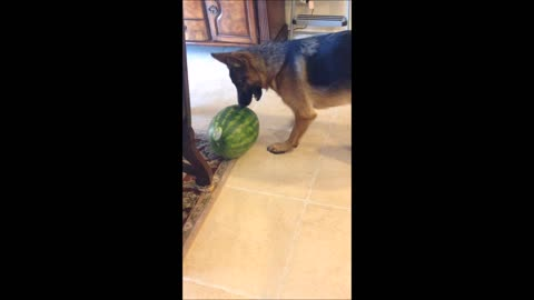 German Shepherd Puppy Dog How to eat this ball ( watermelon )