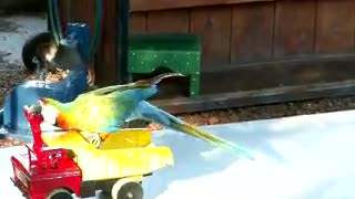 Funny Animals - parrot rides on a car