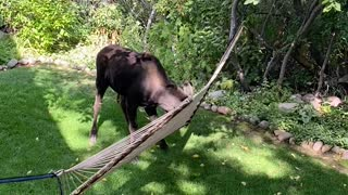 Moose Having Fun With Backyard Hammock