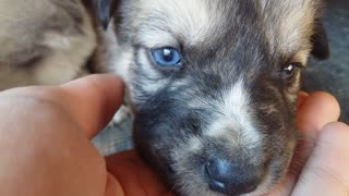 The most beautiful blue-eyed puppy