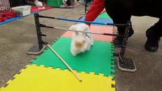Cheeky Bunny Introduces Own Rules During A Hopping Event - Video