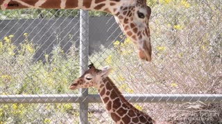 A cute baby giraffe was seen taking her very wobbly first steps outside