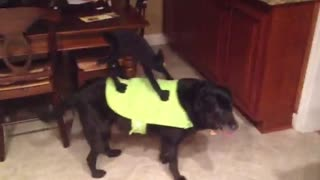 Dog models hilarious Halloween costume - Video