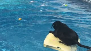 Talented Labrador Dog Balances On Bodyboard To Retrieve Ball Stuck In The Pool  - Video
