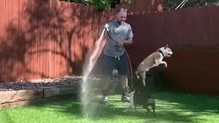 Two dogs playing with hose water man