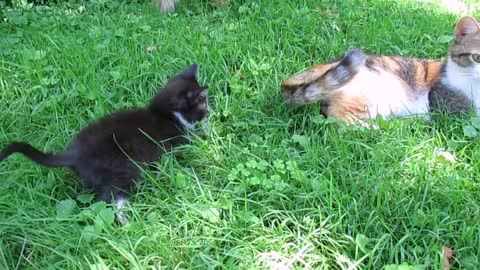 Curious kitten plays with mom's wagging tail