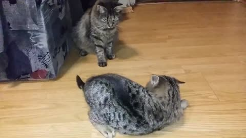 Cute funny playing cats