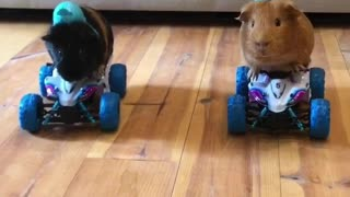 Guinea pigs take their four wheelers for a ride