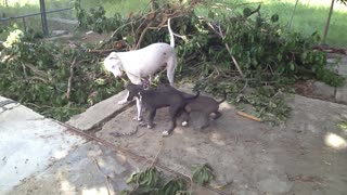 Mama dog plays tug-of-war with her puppies - Video