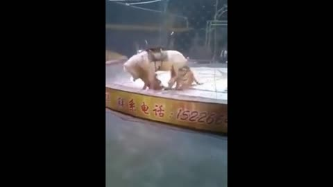 Two Tigers attack a horse in circus for shows