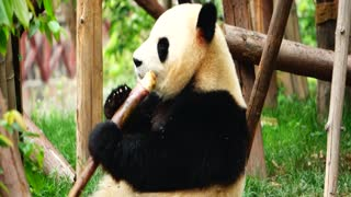 A Giant Pandas breakfast time - Video