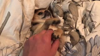 Spoiled dog demands attention while relaxing on bed  - Video
