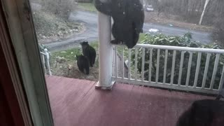 Bear Family is Back for a Visit - Video