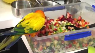 Sun parakeet absolutely loves eating strawberries