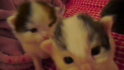 Two week old kittens take first steps