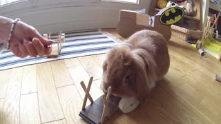 When your bunny learns to lift dumbbells