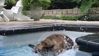 German shepard fighting water pool - Video