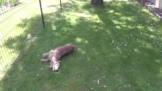 Soggy dog dries himself on the grass - Video