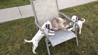 Puppies pick on extremely tolerant cat - Video