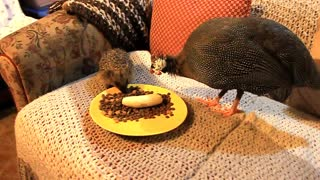 Pet guineafowl befriends wild Hedgehog - Video
