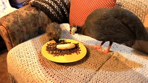 Pet guineafowl befriends wild Hedgehog