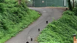 Mama Bear and Cubs Playing Down a Road