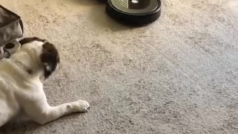 """English Bulldog not to sure about the new """"cleaning lady"""""""
