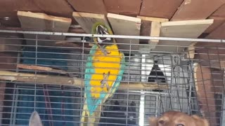 Golden Retriever and macaw compete for attention