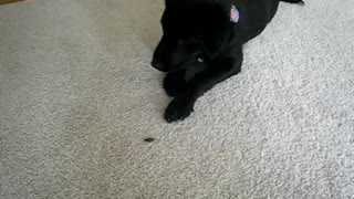 Huskador puppy playing with grasshopper