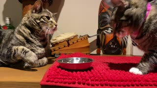 Adorable Fight for the cat food