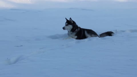 Husky Dog Max Loves to Play in Deep Snow