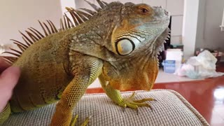 Striker the Iguana - Video