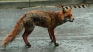 Dog Saves Cat's Life From Hungy Fox - AMAZING