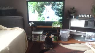 Cat Runs Away from Squirrel on Television - Video